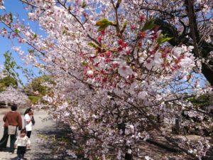 元気をもらえる桜
