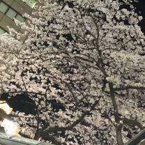 満開のきれいな桜。